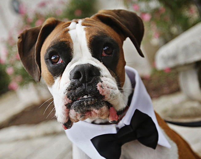 boxer dog wedding invites